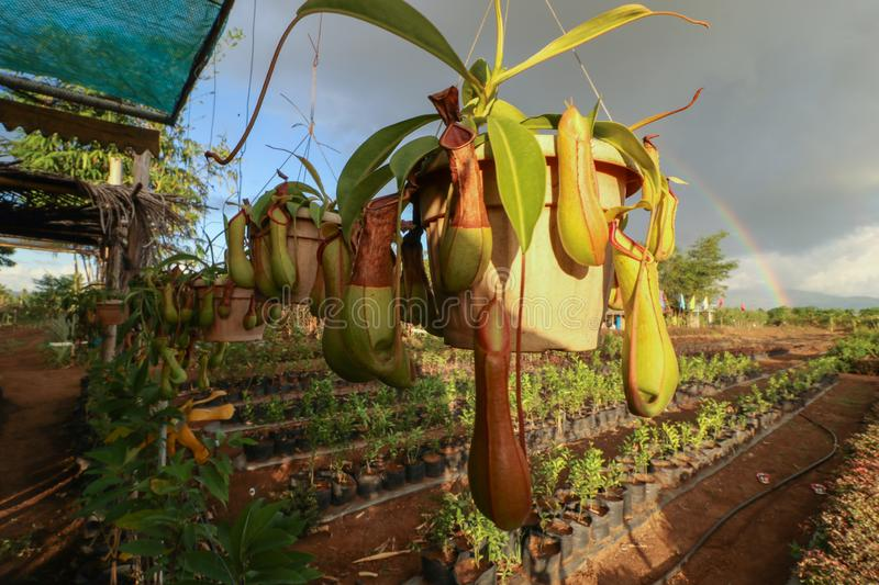 Nepenthes alata. Is a tropical pitcher plant endemic to the Philippines it is carnivorous and uses its nectar to attract insects that drown in the pitcher stock images