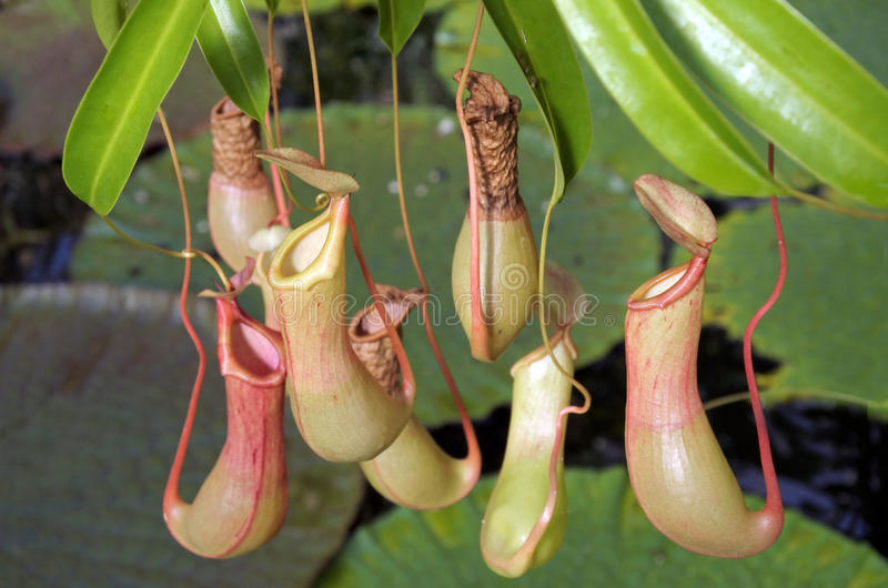 Nepenthes alata Pitcher plant. Nepenthes alata is a tropical pitcher plant endemic to the Philippines.Like all pitcher plants, it is carnivorous and uses its stock photo