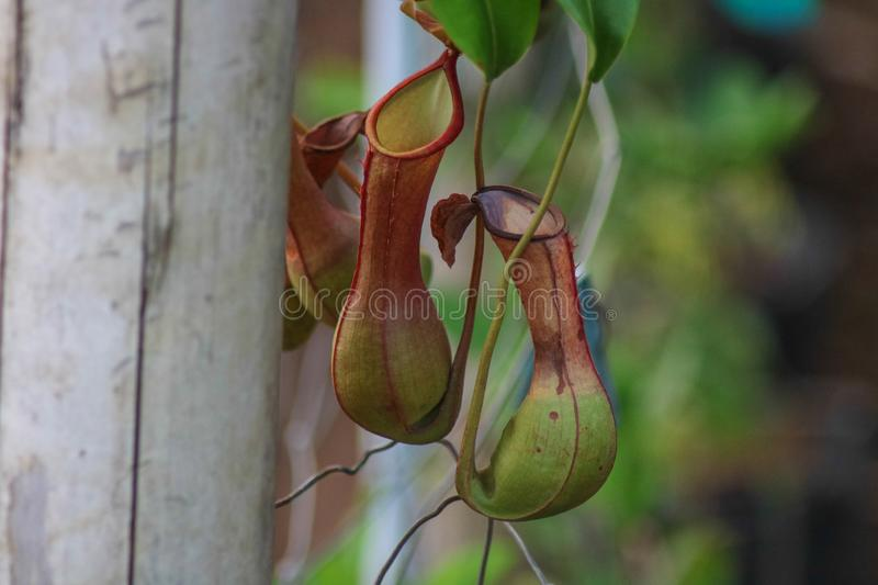 Nepenthes alata in the Philippines. Nepenthes alata is a tropical pitcher plant endemic to the Philippines it is carnivorous and uses its nectar to attract stock photos