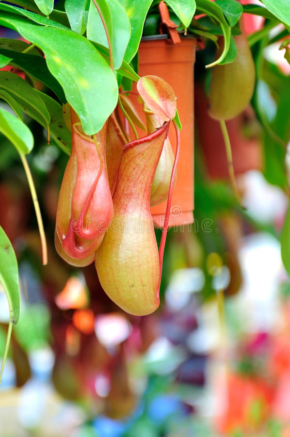 Nepenthes. Burkei is a lowland tropical pitcher plant native to the Philippines. The nectar-producing pitchers on this rare carnivorous vine are actually stock photography