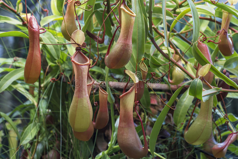 Nepenthes - carnivorous plants growing in tropical Asia. Nepenthes - exotic carnivorous plants growing in tropical Asia royalty free stock photography