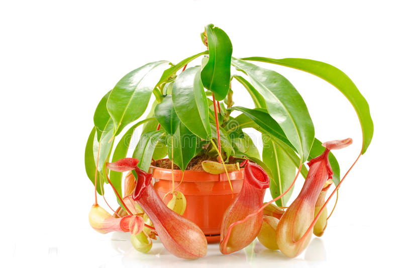 Nepenthes coccinea. In a flowerpot isolated on a white background stock photo