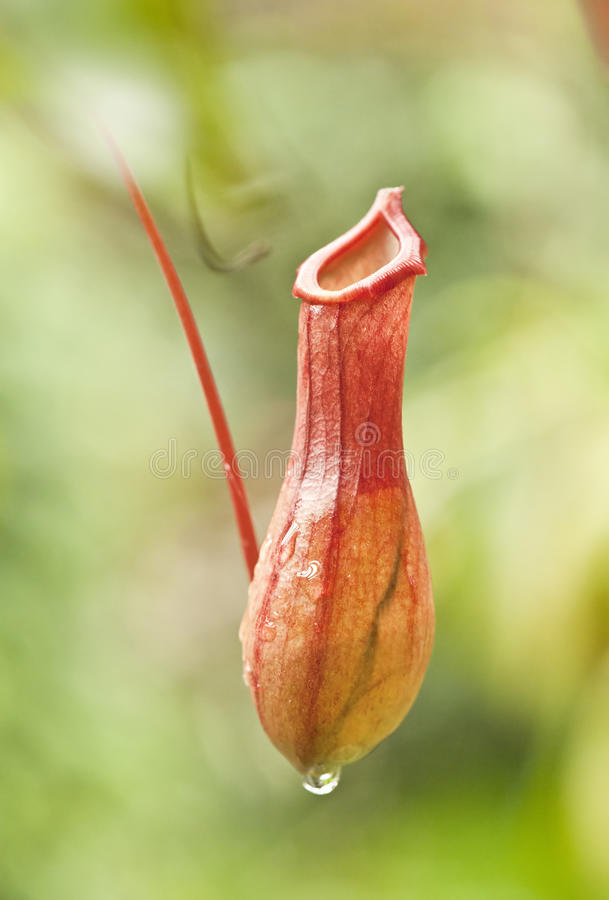 Nepenthes with dew. Closeup of nepenthes with dew royalty free stock photography