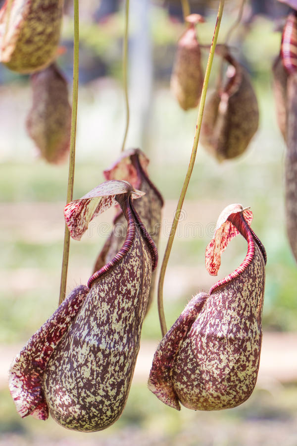 Nepenthes. Eat insect flower in forest royalty free stock photos