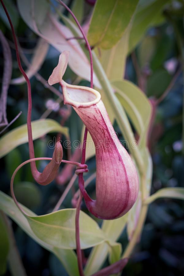 Nepenthes, eat insect flower. Nepenthes, eat insect flower in botanical garden. Cambridge. Cambridgeshire, England royalty free stock image