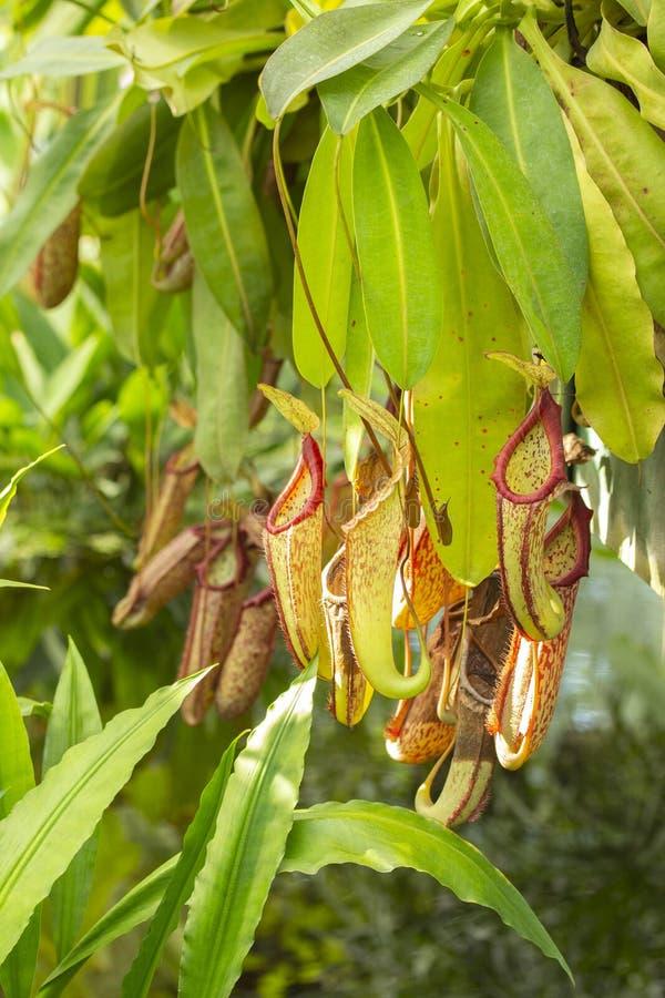 Nepenthes för koppar för apa för växt för exotisk tropisk asiatisk växtNepenthes rov-, grön röd tillbringare för att samla fuktig arkivfoto