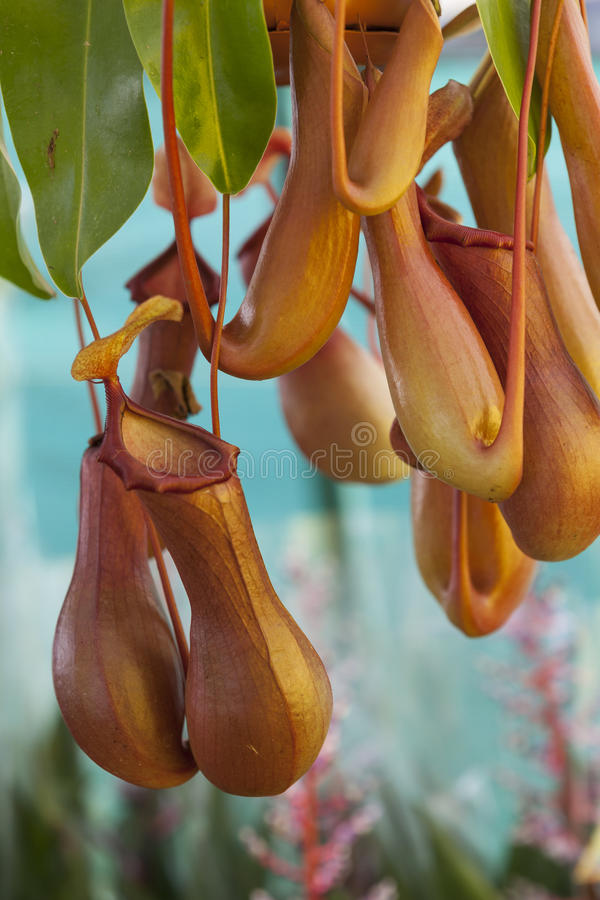 Nepenthes in the garden. A nepenthes in the garden royalty free stock photos