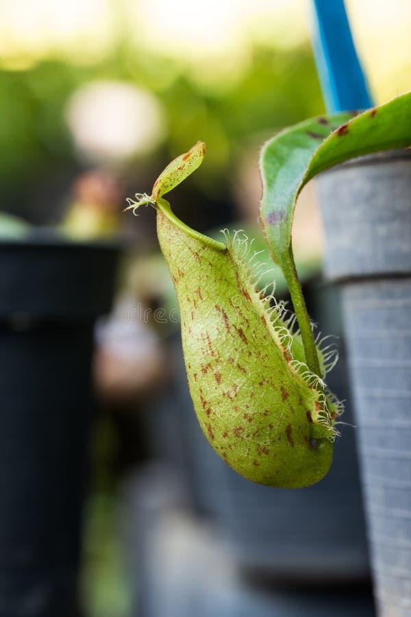 Nepenthes insectivore Ampullaria d'usines photos libres de droits
