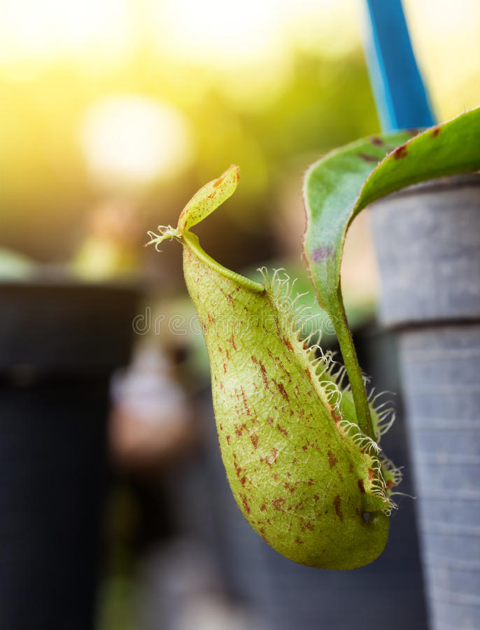 Nepenthes insectivore Ampullaria d'usines photographie stock libre de droits