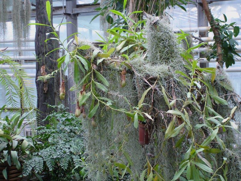 Nepenthes Liten rov- växt arkivbild