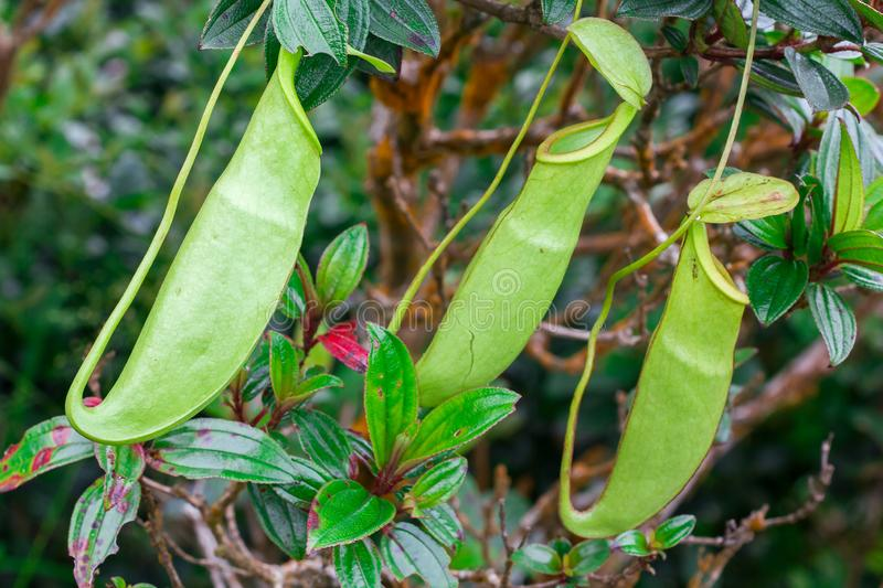 Nepenthes in the natural forest. Is a type of animal eating plant stock photography