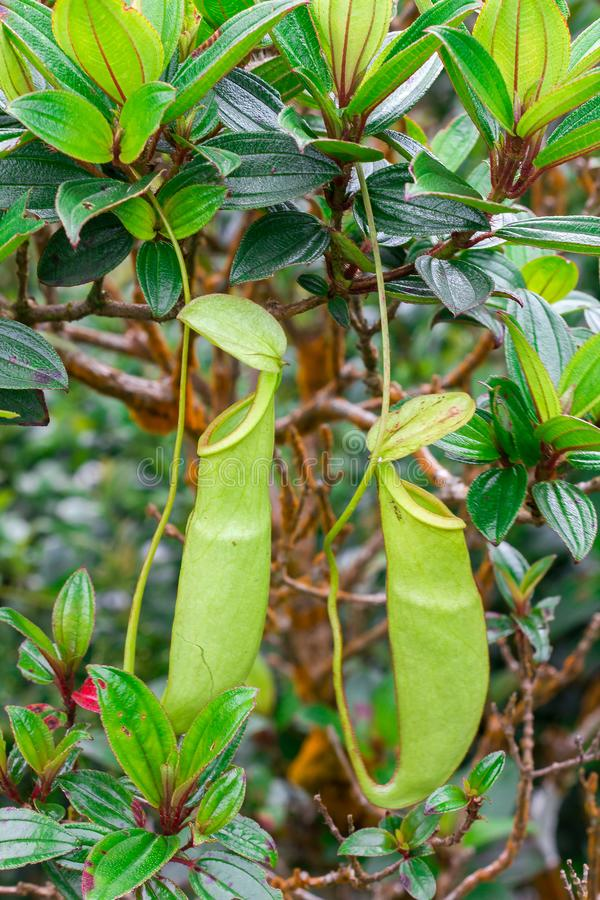 Nepenthes in the natural forest. Is a type of animal eating plant royalty free stock photography