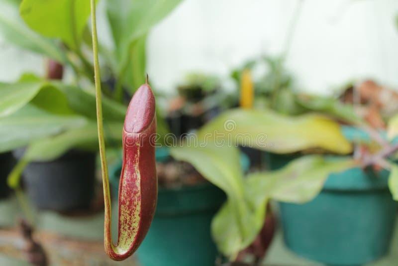 Nepenthes också som är bekant som växter för tropisk kanna arkivbilder