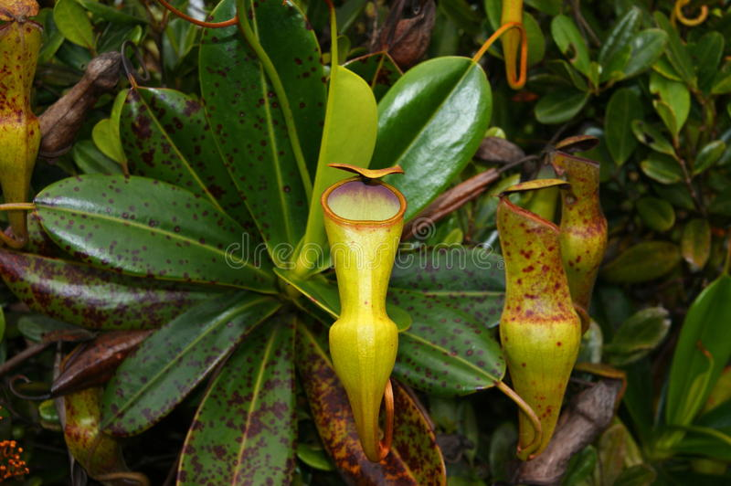 Nepenthes pervillei. Endemic to the Seychelles. The photo was taken in the Morne Seychellois National Park, Mountain Copolia stock photography