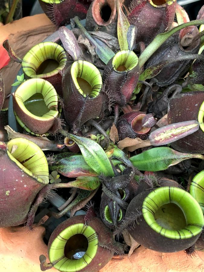 Nepenthes. The Nepenthes plant growth in Cray pot royalty free stock images