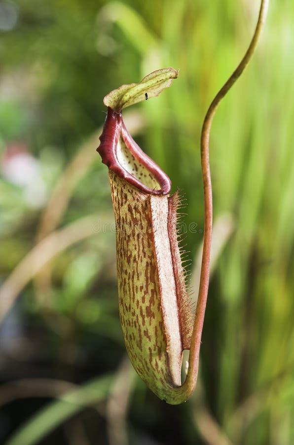 Download Nepenthes rojo foto de archivo. Imagen de amazon, mosca - 41902274