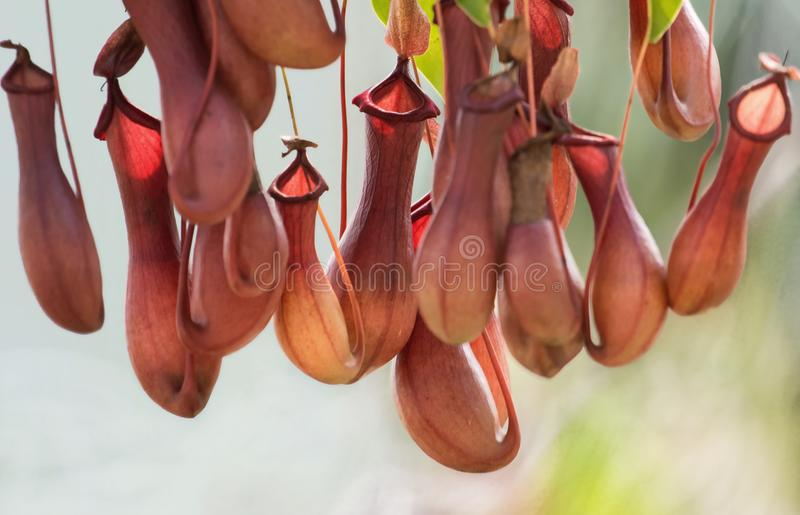 Nepenthes. Are tropical pitcher plants that can catch bugs by special configuration stock photo
