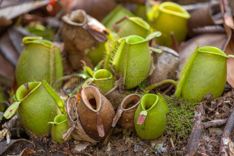 Nepenthes, tropical pitcher plants. (Monkey cups royalty free stock image