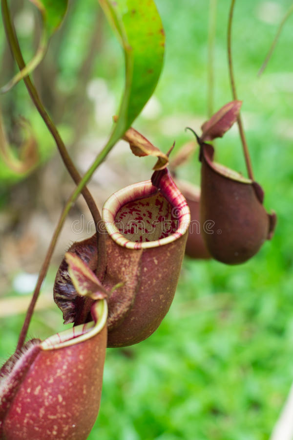 Nepenthes,tropical pitcher plants,monkey cups. Nepenthes carnivorous plant,tropical pitcher plants,monkey cups stock photo