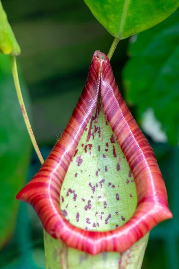 Nepenthes, tropische waterkruik, installatie stock foto