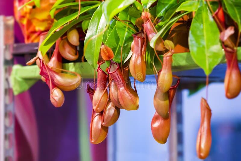 Nepenthes, Tropische waterkruikinstallaties en aapkoppen Insektivoor installatie stock afbeelding
