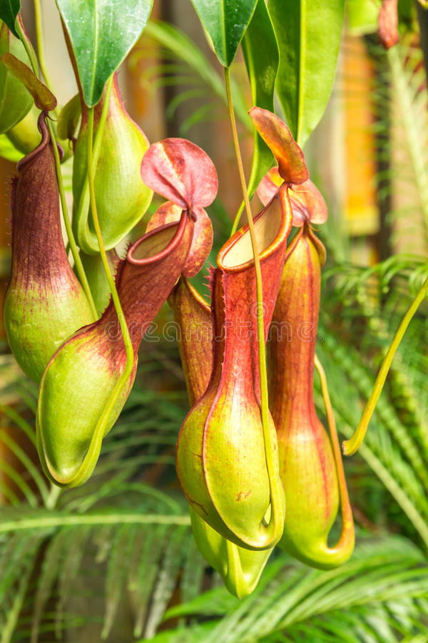 Nepenthes ventrata, a carnivorous plant. Nepenthes ventrata, a tropical pitcher plants is a genus of carnivorous plants royalty free stock image