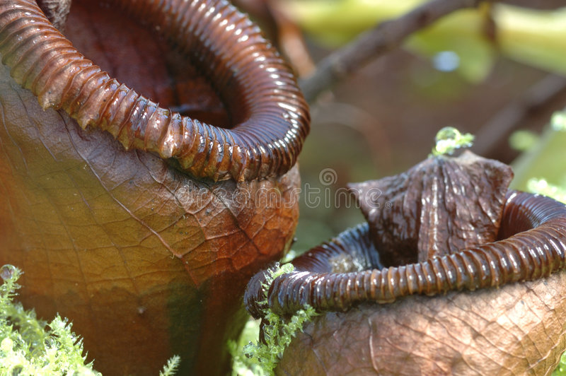Nepenthes Ventricosa photos libres de droits