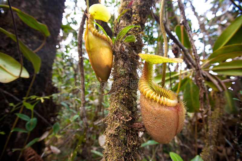 Nepenthes villosa also known as monkey pitcher plant. Indigenous to the mountain of Sabah, Mount Kinabalu, Malaysia royalty free stock photos
