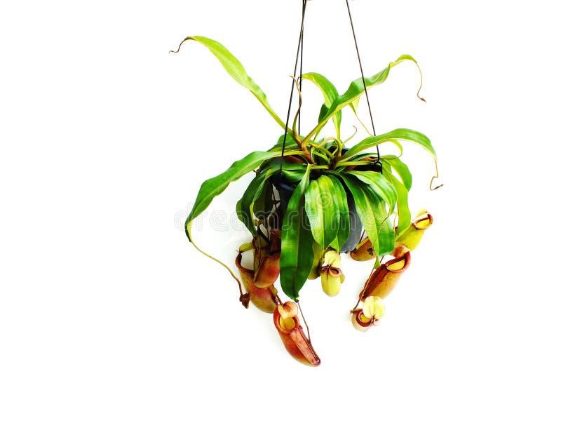 Nepenthes vleesetende die installatie op witte achtergrond wordt geïsoleerd royalty-vrije illustratie