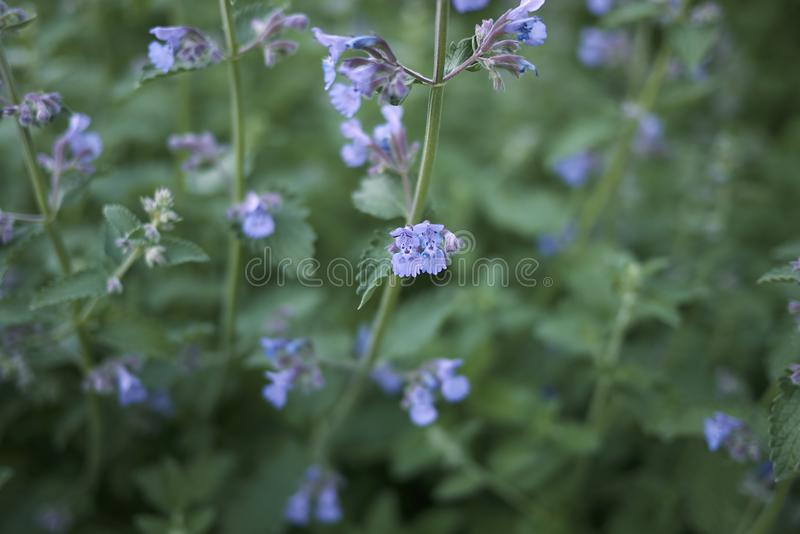Lavender flowers of Nepeta cataria plants. Nepeta cataria blooming in a flowerbed royalty free stock photos