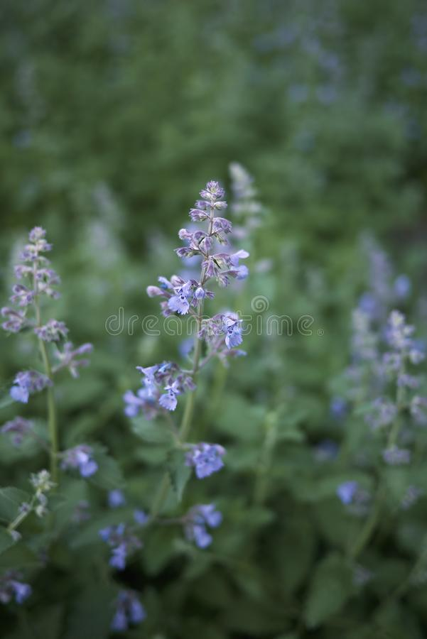 Lavender flowers of Nepeta cataria plants. Nepeta cataria blooming in a flowerbed royalty free stock images