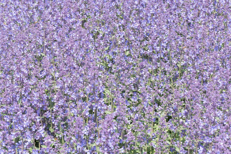 Nepeta cataria. Nepeta cataria or catmint flowers royalty free stock photography