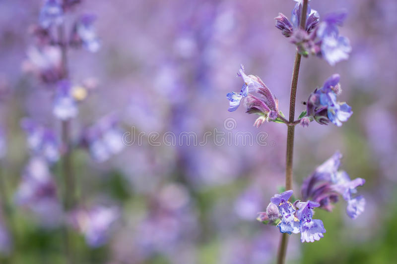 Nepeta cataria. Nepeta cataria or catmint flowers royalty free stock image