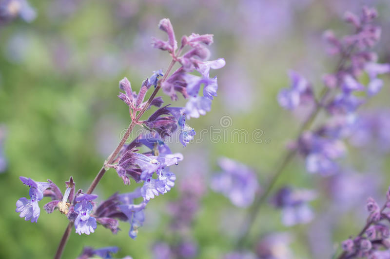 Nepeta cataria. Nepeta cataria or catmint flowers stock photos