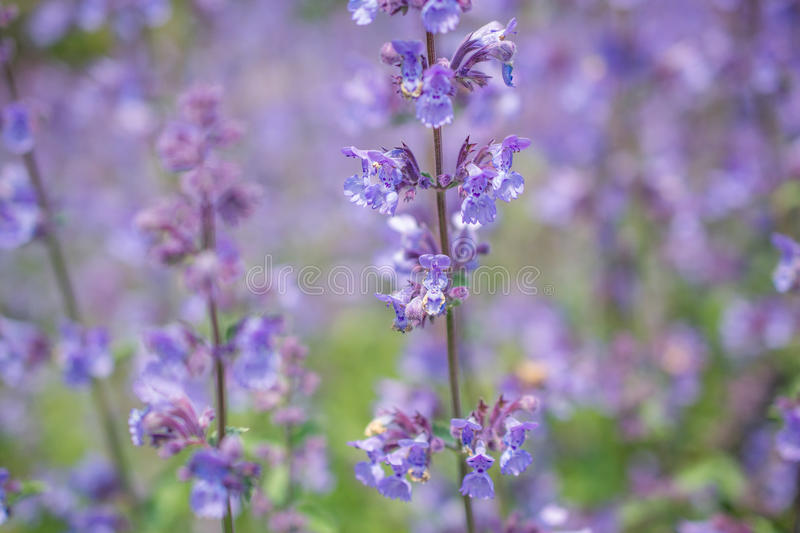 Nepeta cataria. Nepeta cataria or catmint flowers stock photography