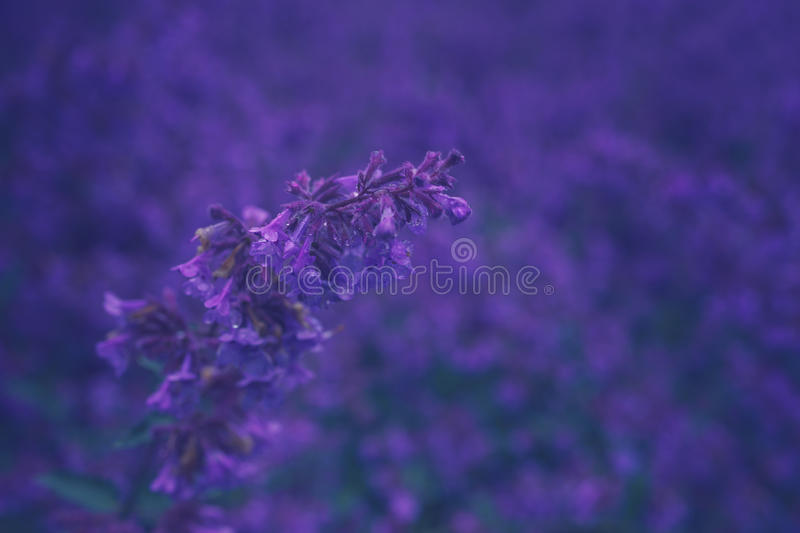 Nepeta cataria or catmint flowers. With drops after rain. Toned image, shallow depth of field royalty free stock images