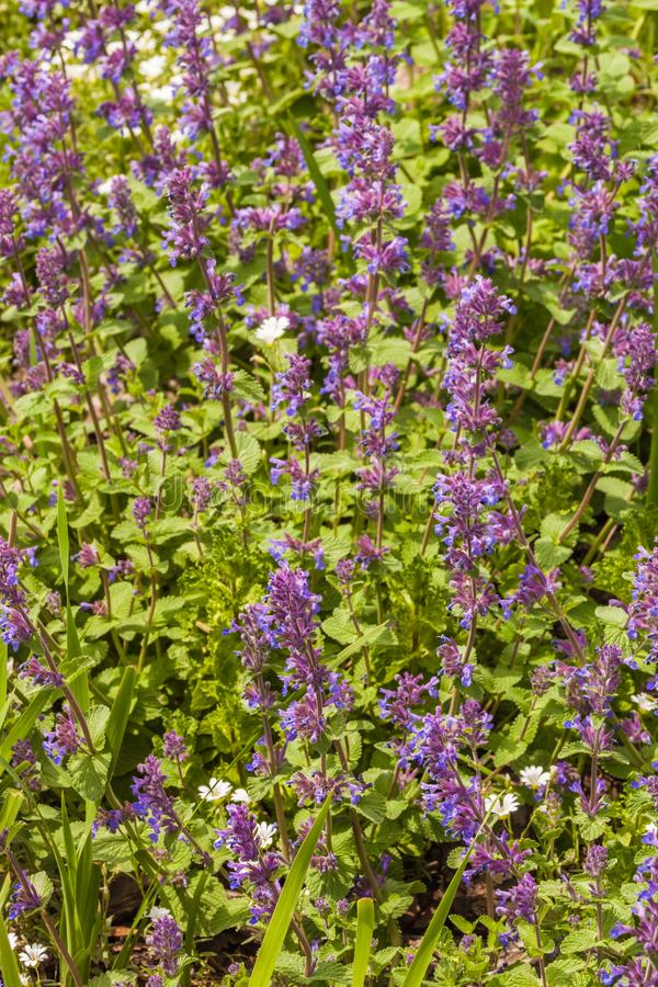 Nepeta cataria. Commonly known as catnip, catswort, and catmint, is a species of the genus Nepeta royalty free stock image