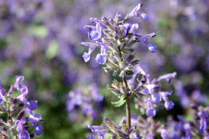 Nepeta (catmint). Catnip flowers in a botanical garden royalty free stock image