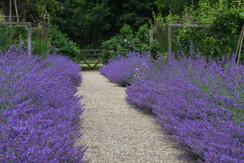 Nepeta, jardim de Tintinhull, Somerset, Inglaterra, Reino Unido fotografia de stock royalty free