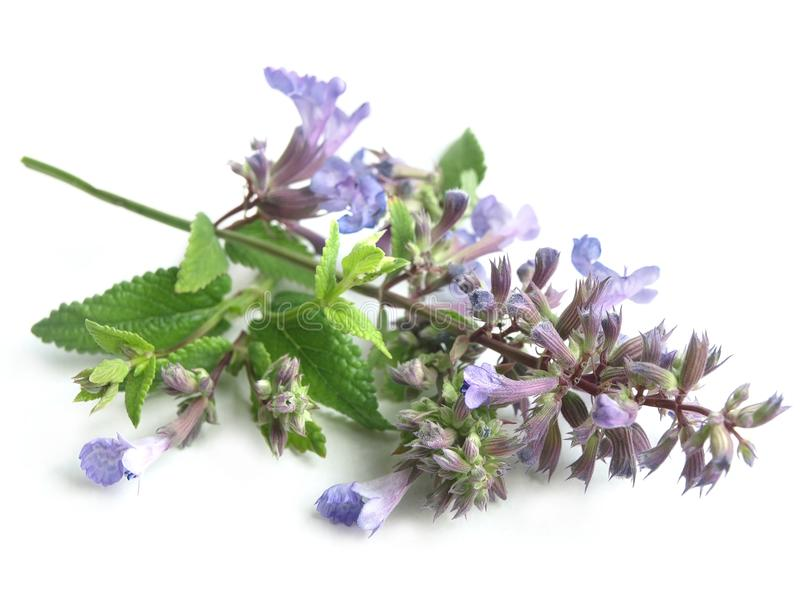 Nepeta Nepeta cataria. The leaves and flowers have repellent properties. Catnip contains the essential oil nepetalactone which affect cats royalty free stock images
