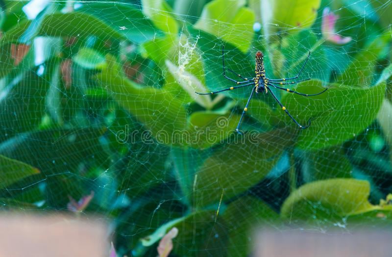 Nephila Maculata, Gaint Long-jawed Orb-weaver. royalty free stock image