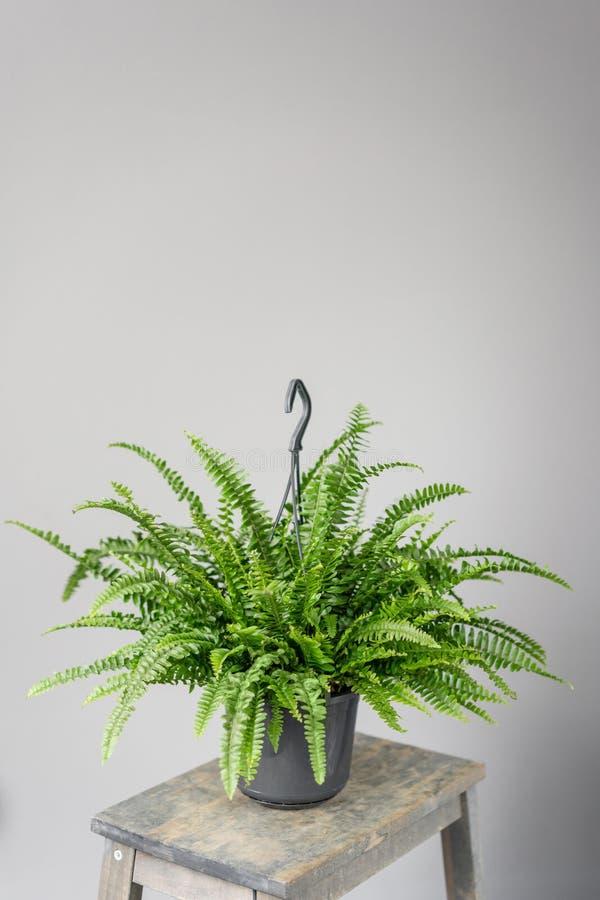 Nephrolepis植物,蕨 陶瓷罐的时髦的绿色植物在灰色墙壁背景的木葡萄酒立场  ?? 库存图片