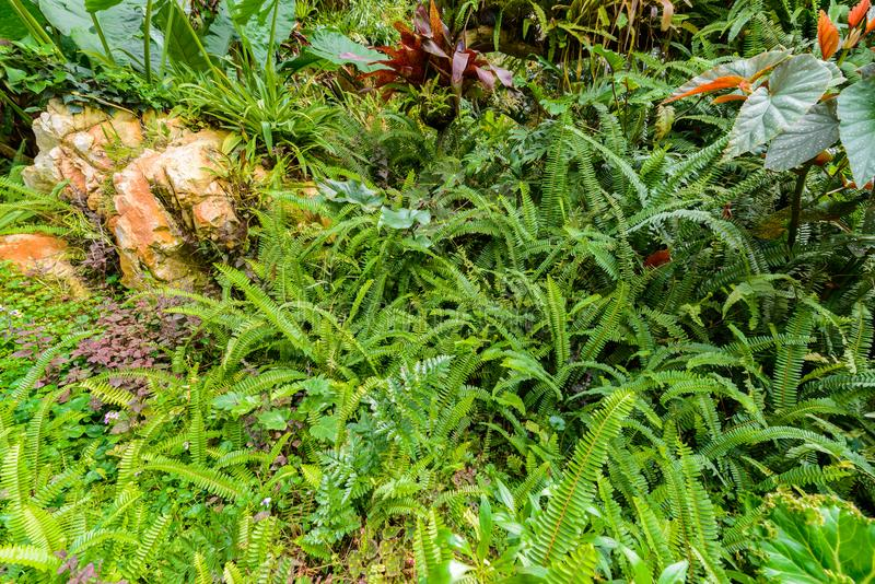 Nephrolepis exaltata剑蕨-蕨的种类在的 免版税库存照片