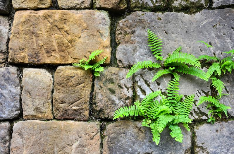 Nephrolepis exaltata fern growing between a space of stone brick wall royalty free stock photography