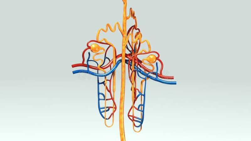 Nephron vector illustratie