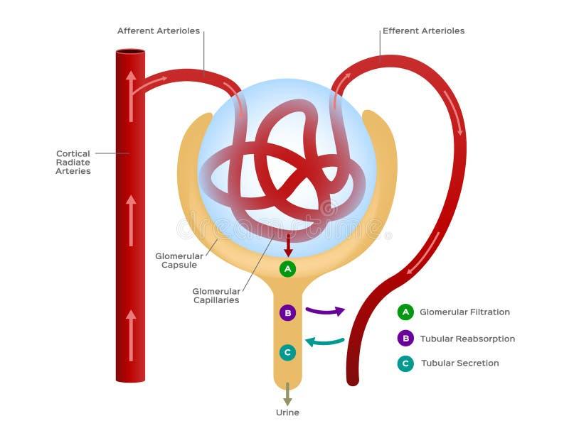 Nephron/formation de l'urine/de organe humain et de l'anatomie illustration libre de droits