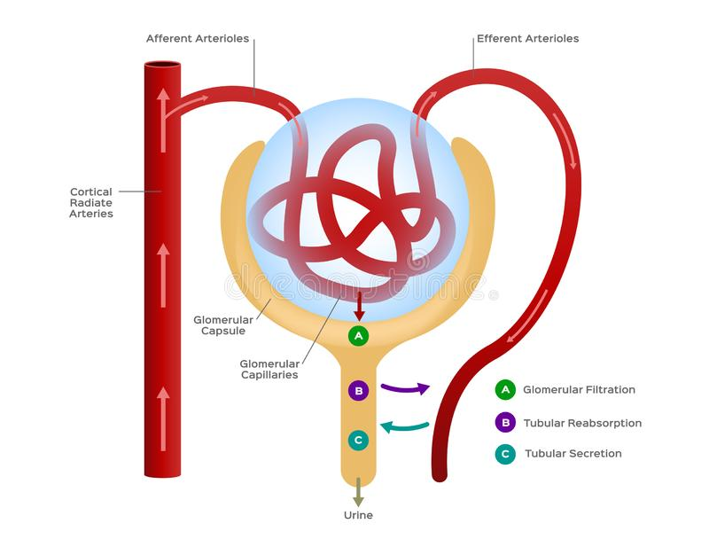 Nephron / formation of the urine / human organ and anatomy royalty free illustration