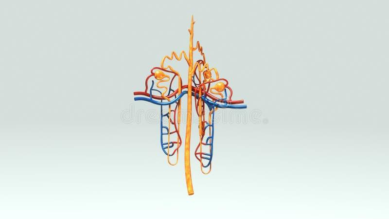 Nephron stock illustration