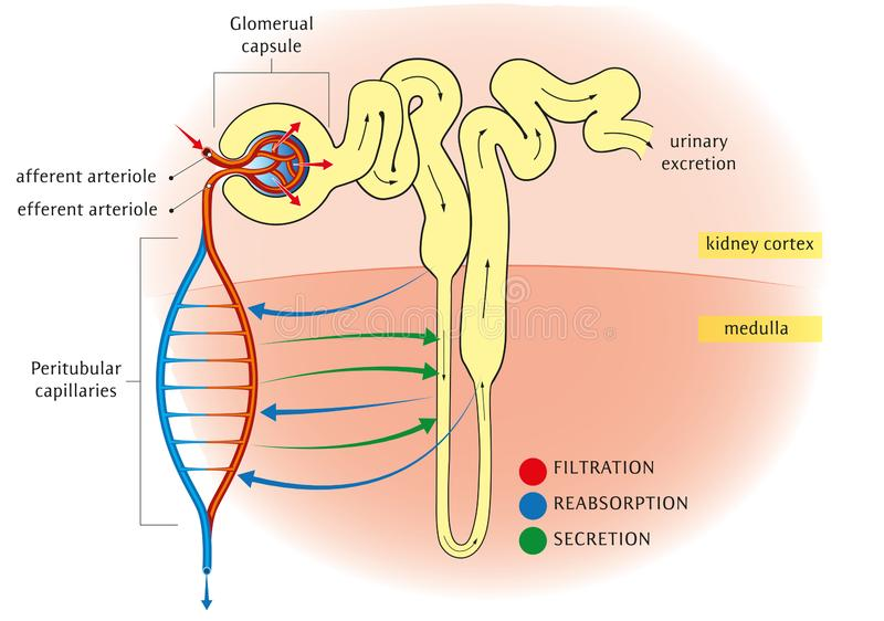 Nephron vector illustration