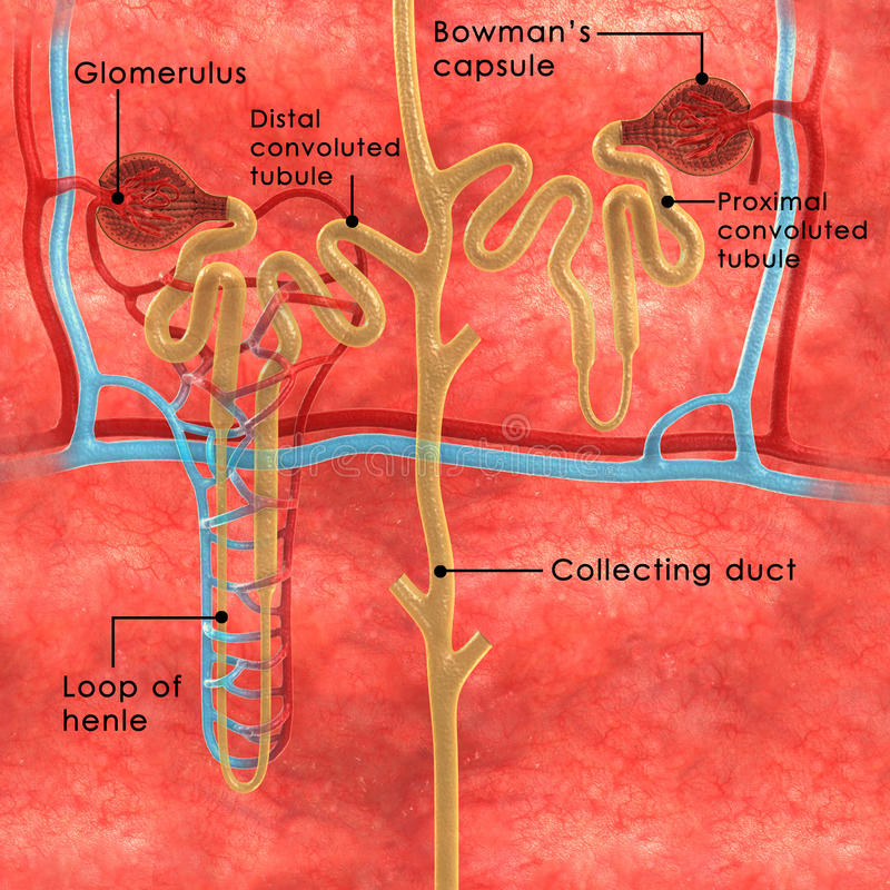 Nephrons labelled vector illustration
